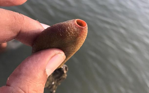 Rare Siliceous sand-sponge discovered in Sonadia Island, Bangladesh